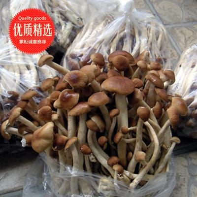 江西抚州棕褐色帽茶树菇 10cm 绿色茶树菇