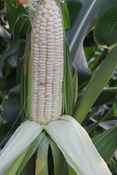 这是一张珠海选育玉米新品种成为广东省首个通过国审新品种的配图