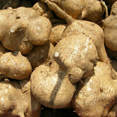 安徽滁州凉薯