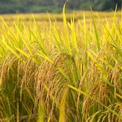湖南常德水稻 优质稻谷