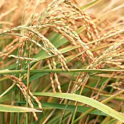 湖南常德水稻 优质中稻