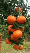 愛媛30號雜柑苗  嫁接苗 0.5~1米 帶花芽苗,當年可以試果