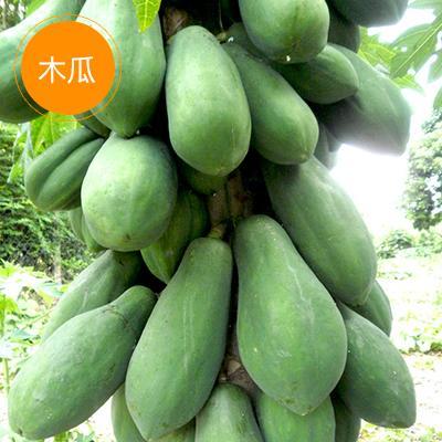 广东湛江光皮木瓜 1 - 1.5斤 光皮木瓜木瓜