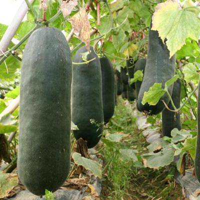 这是一张关于黑皮冬瓜 20斤以上 黑皮 冬瓜 黑皮冬瓜批发的产品图片