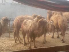 山东优质优价 出售双峰骆驼,单峰骆驼,纯种血统优良品种。 免邮