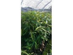 福建金丝楠木,鄂西红豆,红花含笑大量低价供应