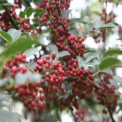 这是一张关于泰山花椒苗的产品图片