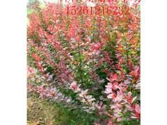 江苏宿迁批发红王子锦带.红叶小檗.卫矛.红瑞木.蔷薇.绣线菊