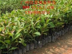 广东广州杜英种苗杜英小袋苗杜英优质苗供应