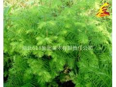 湖北荆州水杉苗