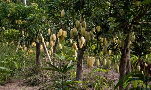 这是一张云南永仁:打造晚熟芒果产业 促进产业转型升级的配图