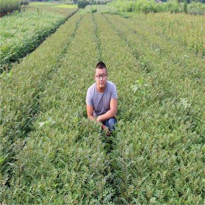 这是一张关于九叶青 花椒苗的产品图片