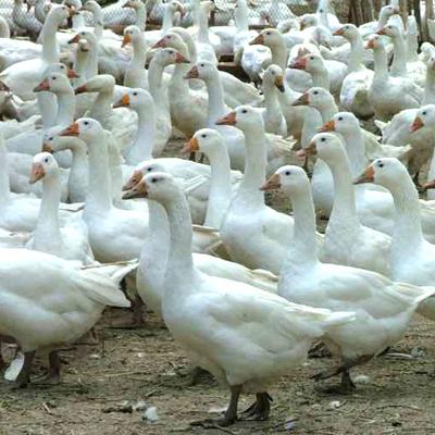 河南濮阳大白鹅 6-8斤 统货 肉鹅