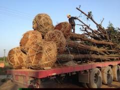 湖南长沙椤木石楠价格查询,15-30公分骨架椤木石楠价格