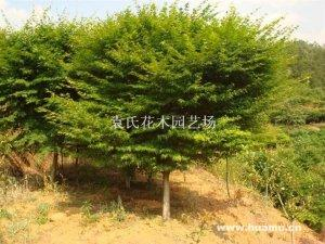 浙江绍兴供应6-12公分鸡爪槭,树型佳