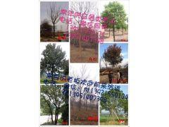 江苏镇江榉树  朴树 丛生朴树
