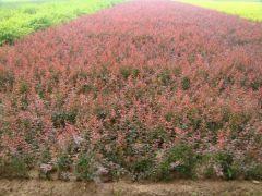 江苏宿迁低价出售红叶小檗,紫叶小檗