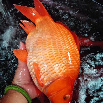 江西上饶鲤鱼 荷包红鲤鱼
