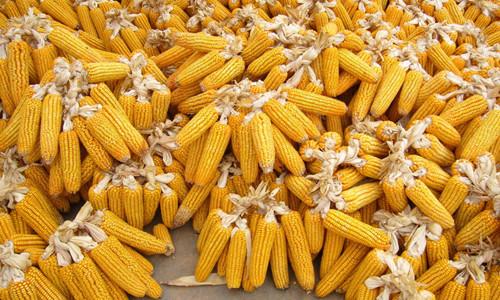 """这是一张辽宁推出""""玉米生产者补贴政策"""" 保障农民种粮收益的配图"""