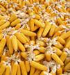 """辽宁推出""""玉米生产者补贴政策"""" 保障农民种粮收益"""