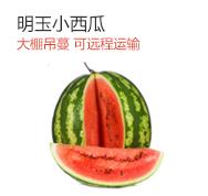 小西瓜明玉,红瓤西瓜,可远地运输,七八成熟远程最佳!