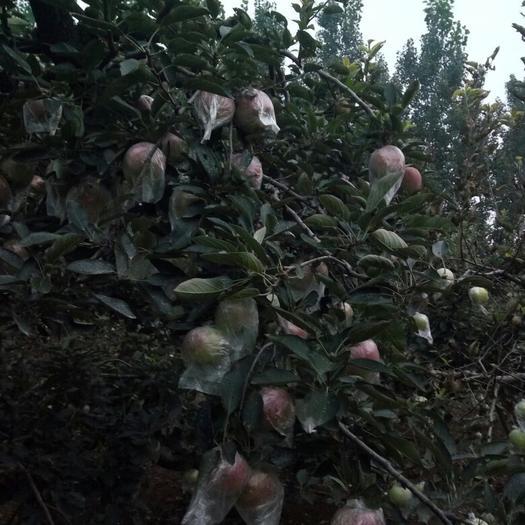 重慶市彭水苗族土家族自治縣紅星蘋果