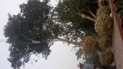 湖北省荆州市松滋市湖北柚子树