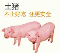 供应优质生猪