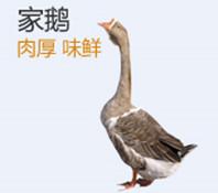 浙东白鹅鹅