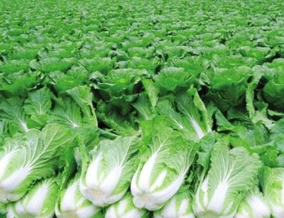 黑龍江省大慶市肇州縣秋地黃白菜 3~6斤