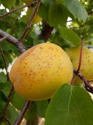 荷兰香蜜杏苗