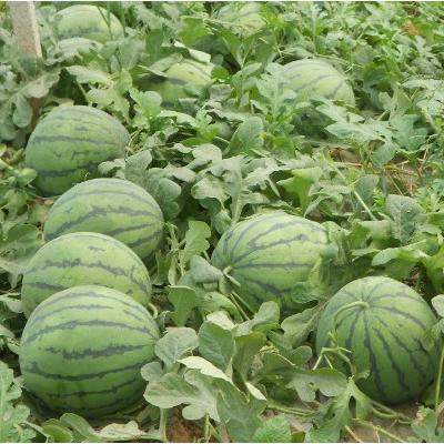 这是一张关于京欣西瓜 8斤打底 8成熟 1茬 山东西瓜的产品图片