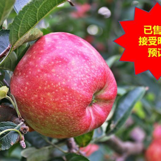 山東省煙臺市長島縣紅香蕉蘋果