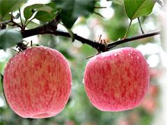 陕西彬县红富士苹果