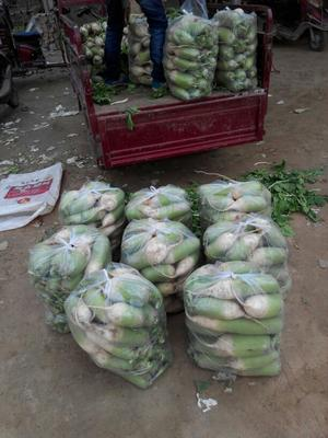 河南省开封市通许县白玉春萝卜 1.5~2斤