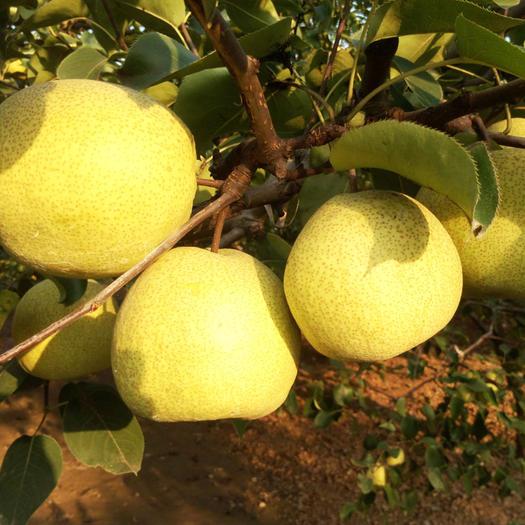 安徽省宿州市砀山县 安徽砀山酥梨,产自百年老梨树!十斤装(15颗或18颗)