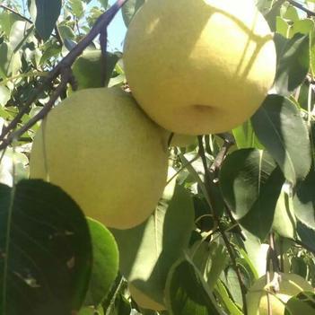 安徽砀山酥梨,产自百年老梨树,产地直销,供应各大超市,批发商
