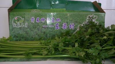 山东省青岛市即墨市玉芽芹菜 55~60cm 露天种植 0.5~1.0斤
