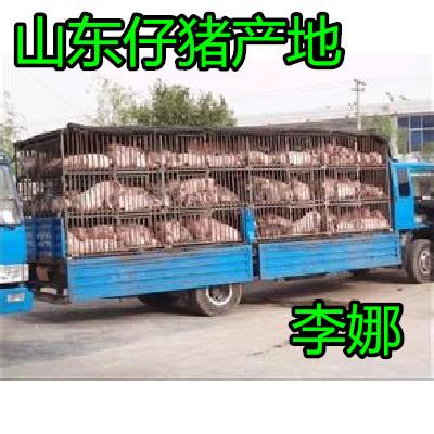 这是一张关于大约克仔猪 猪苗 山东优良仔猪批发价格的产品图片