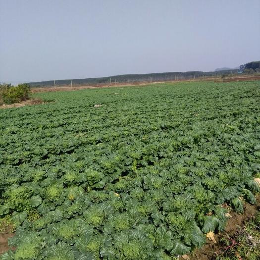 廣西壯族自治區賀州市富川瑤族自治縣竹筒白菜 2~3斤