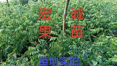 马来西亚甜杨桃苗