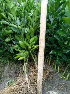 赣南脐橙苗 嫁接苗 0.5米以下