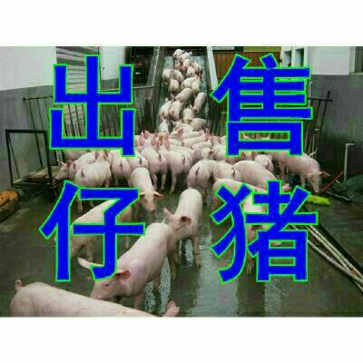 山东日照猪 20-30斤