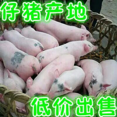 这是一张关于二元仔猪 猪苗的产品图片