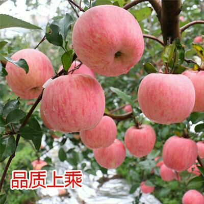 山东日照水晶富士 90 - 95mm 条红 纸袋 山东苹果价格苹果批发苹果产地苹果供应
