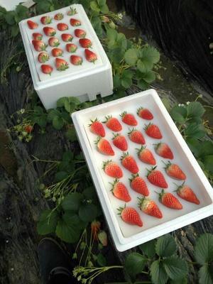 云南省昆明市五华区圣安德瑞斯草莓 40克以上