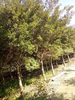 福建省漳州市红皮榕