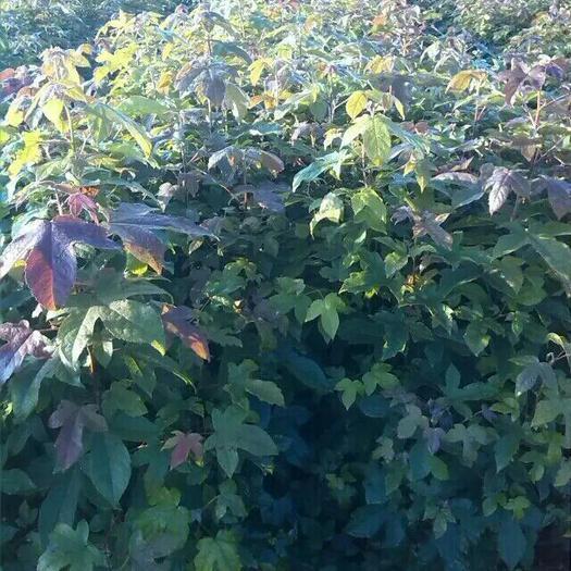11公分枫香树价格