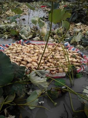 洪湖莲藕 13-15cm 10~15cm