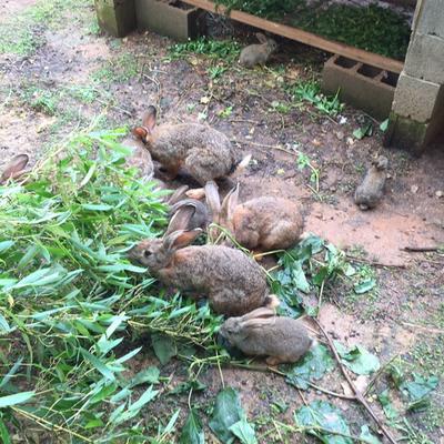 杂交野兔 3-5斤